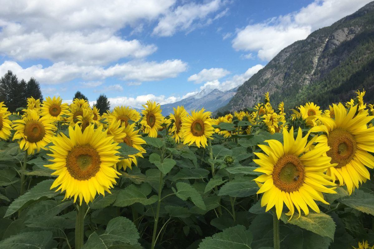 sunflowermaze_4
